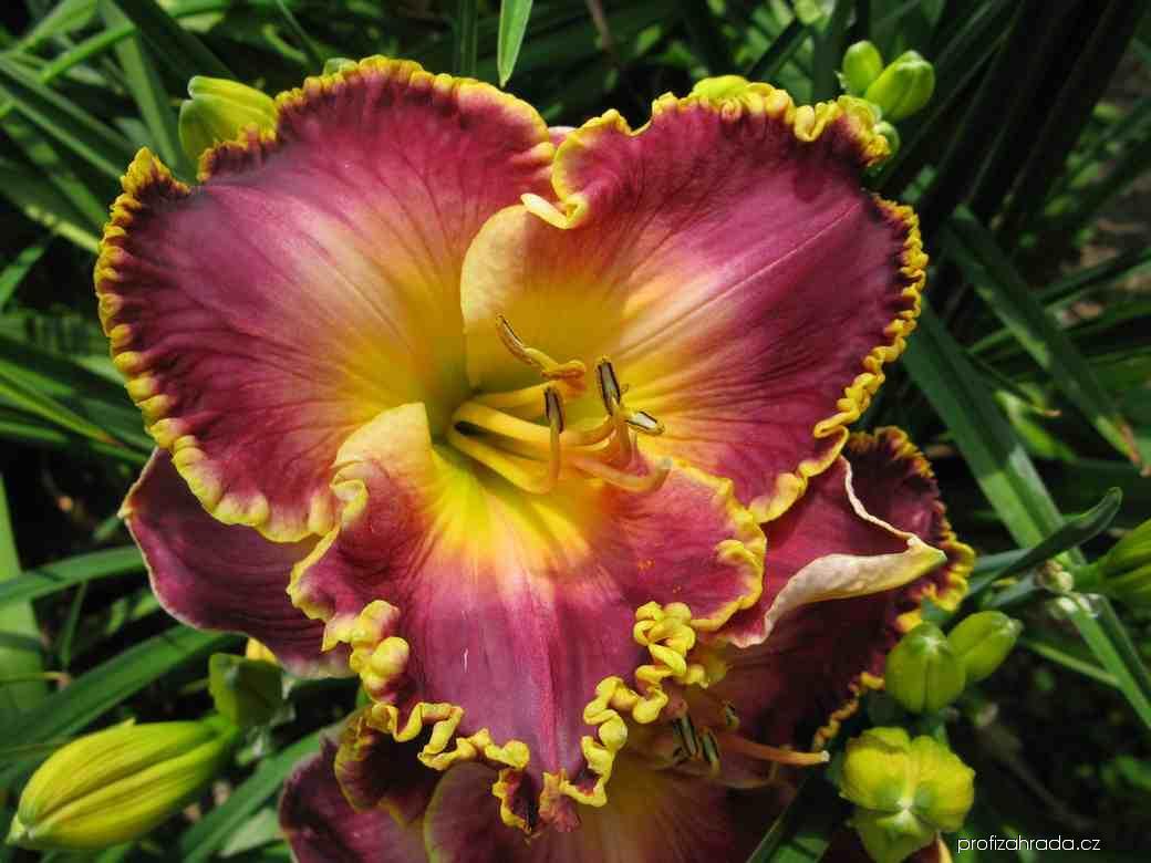Denivka Orchid Electra (Hemerocallis hybrida)