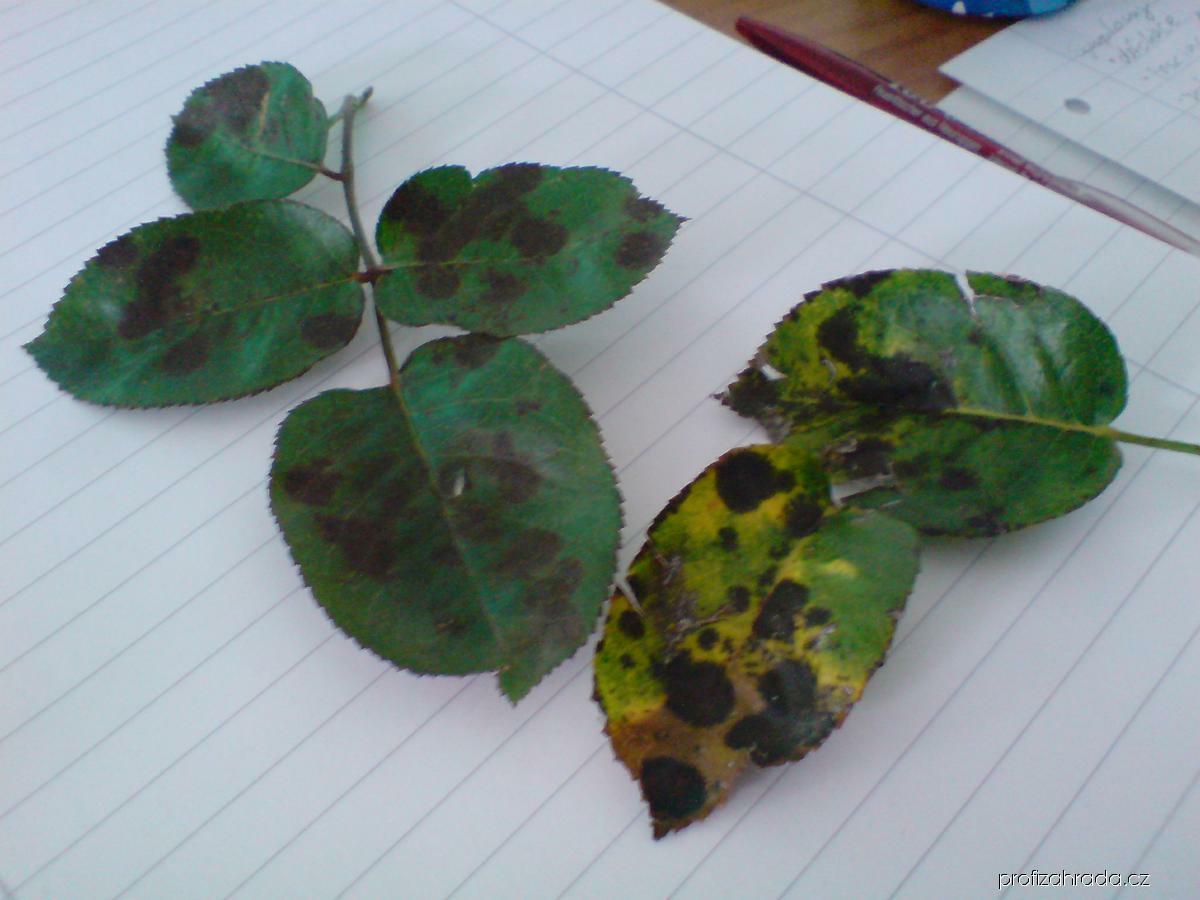 Černá skvrnitost růže (Diplocarpon rosae)