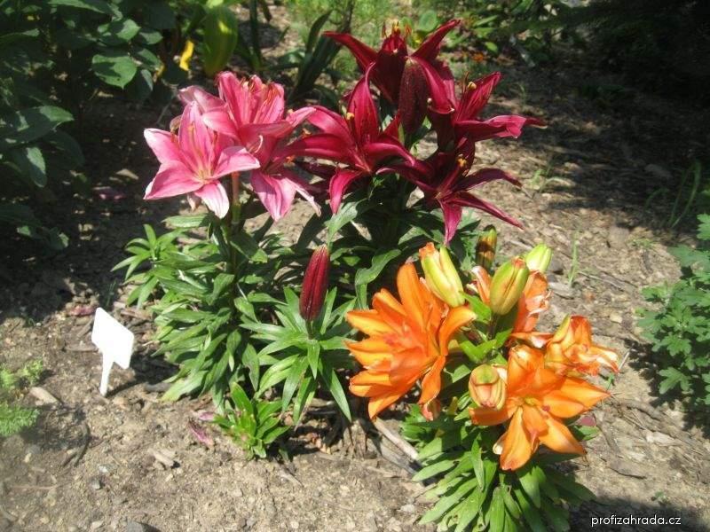 Lilie - asijské nízké lilie (Lilium x hybridum)