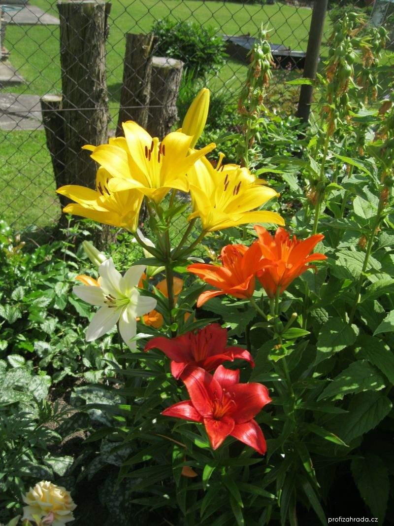 LA hybridy (Lilium x hybridum)