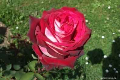 Růže Osiria růže - Velkokvěté růže, čajohybridy (Rosa)