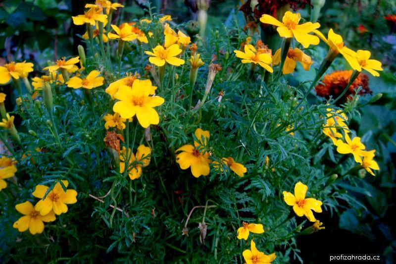 Aksamitník rozkladitý (Tagetes tenuifolia pumila)