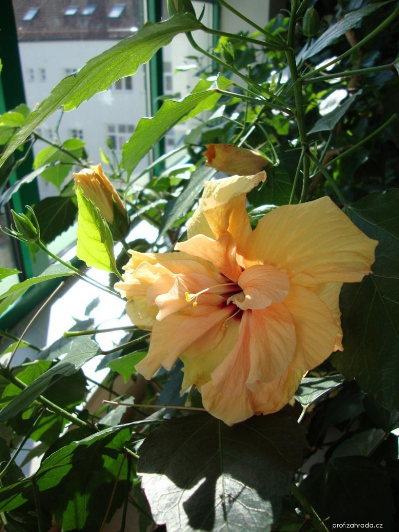 Ibišek čínská růže (Hibiscus rosa-sinensis)