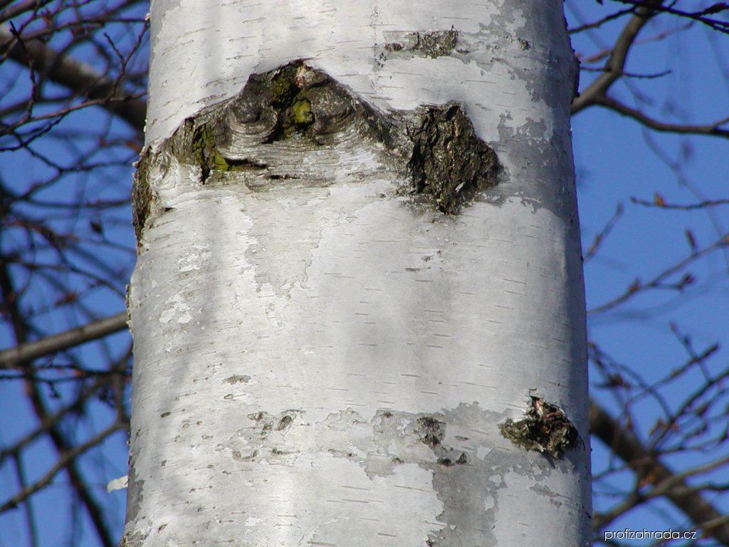 Bříza bělokorá - kůra (Betula pendula)