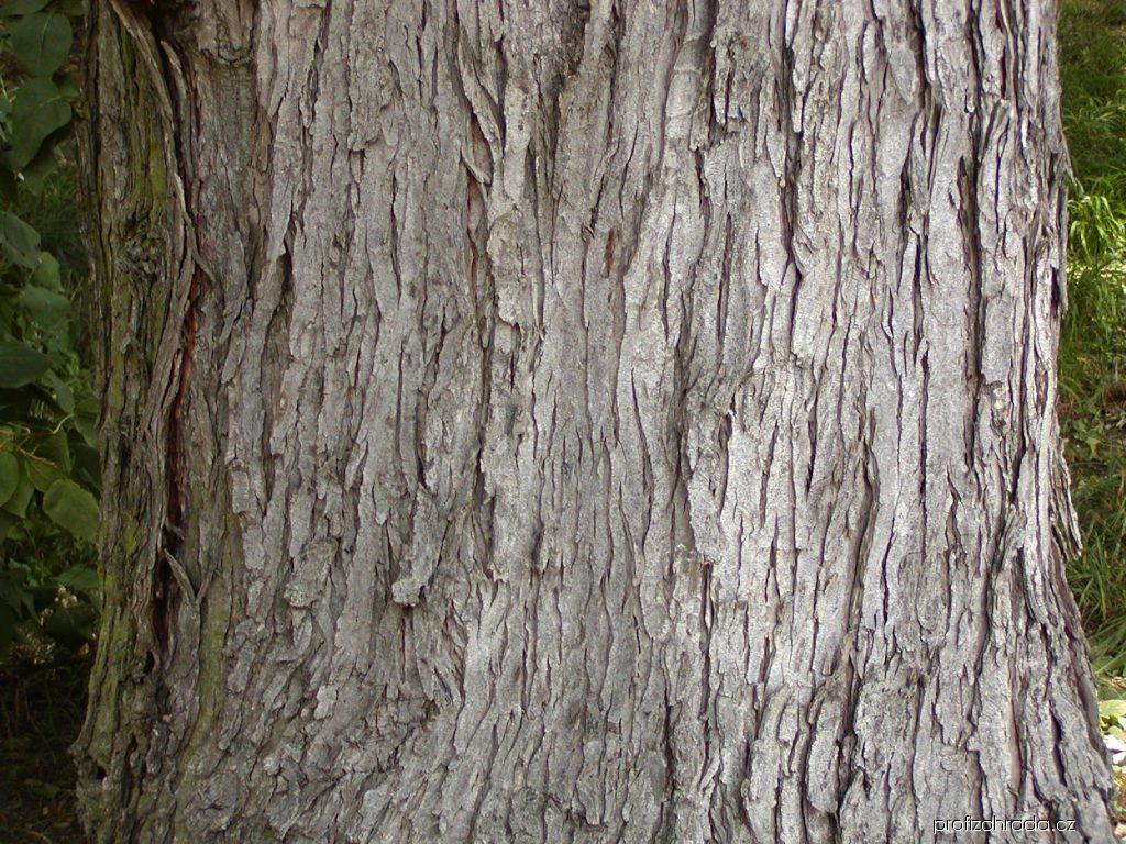 Javor stříbrný (Acer saccharinum)