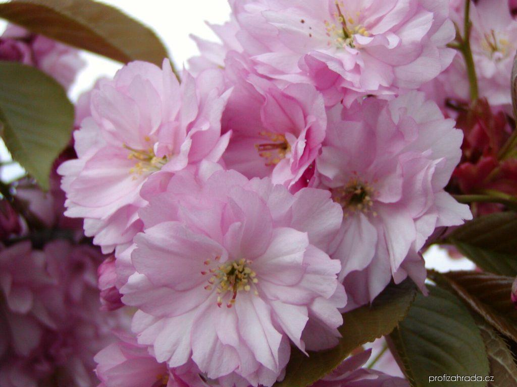 Sakura ozdobná Kanzan (Cerasus serrulata)