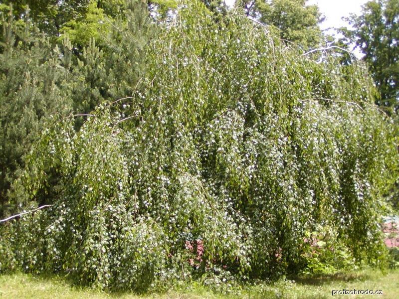 Bříza bělokorá Youngii (Betula pendula)