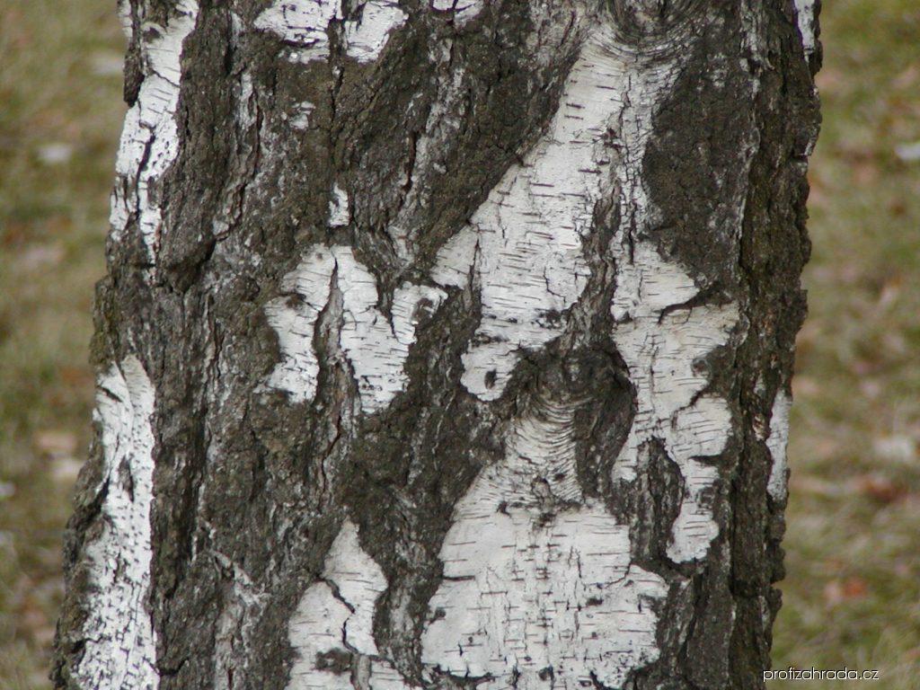 Bříza bělokorá (Betula pendula)