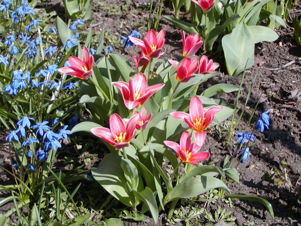 Tulipán Kaufmannův Jeantine (Tulipa kaufmanniana)