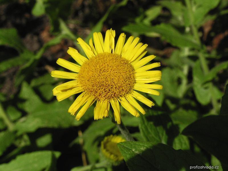 Blešník úplavičný - květ (Pulicaria dysenterica)