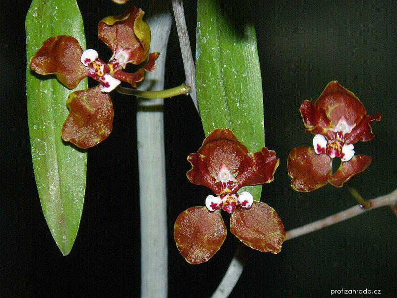 Lophiaris (Lophiaris microchila)