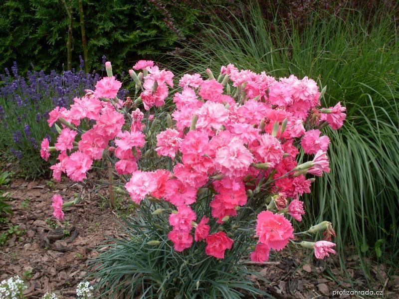 Karafiát (Dianthus)