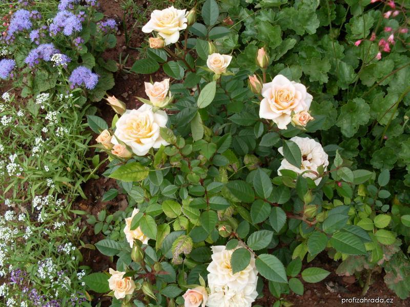 Růže - mini růže (Rosa)