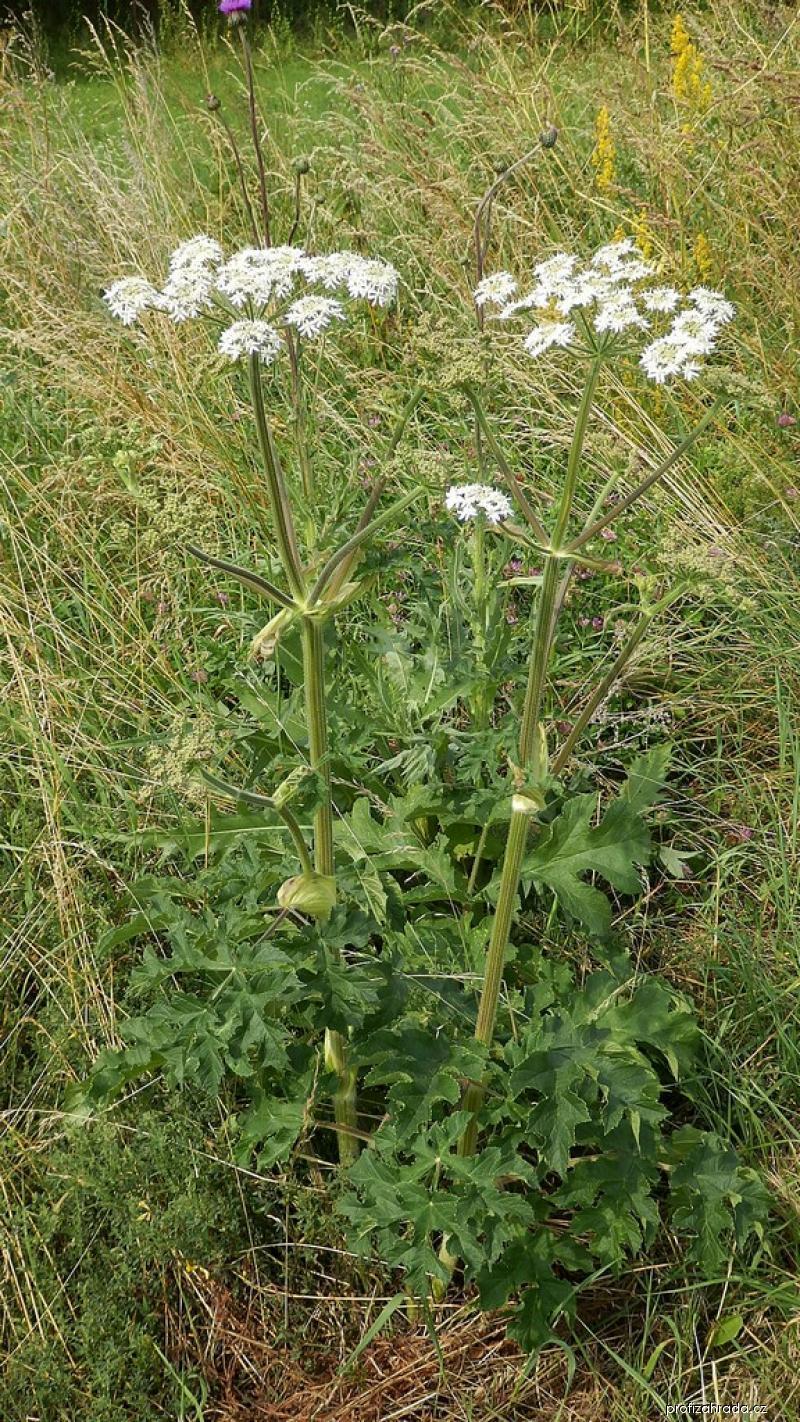 Bolševník obecný (Heracleum sphondylium)