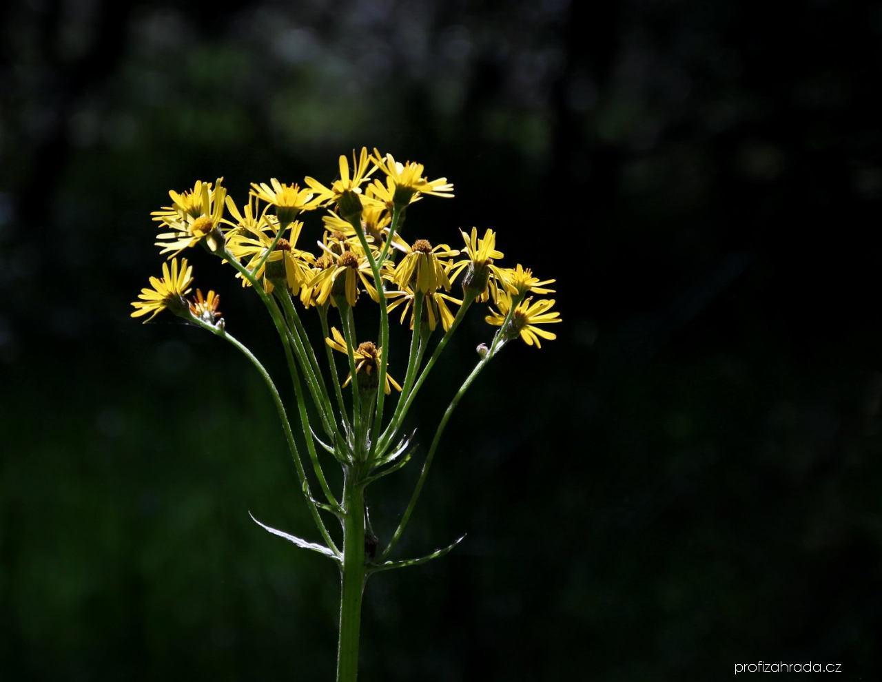 Pastarček potoční - květ (Tephroseris crispa)