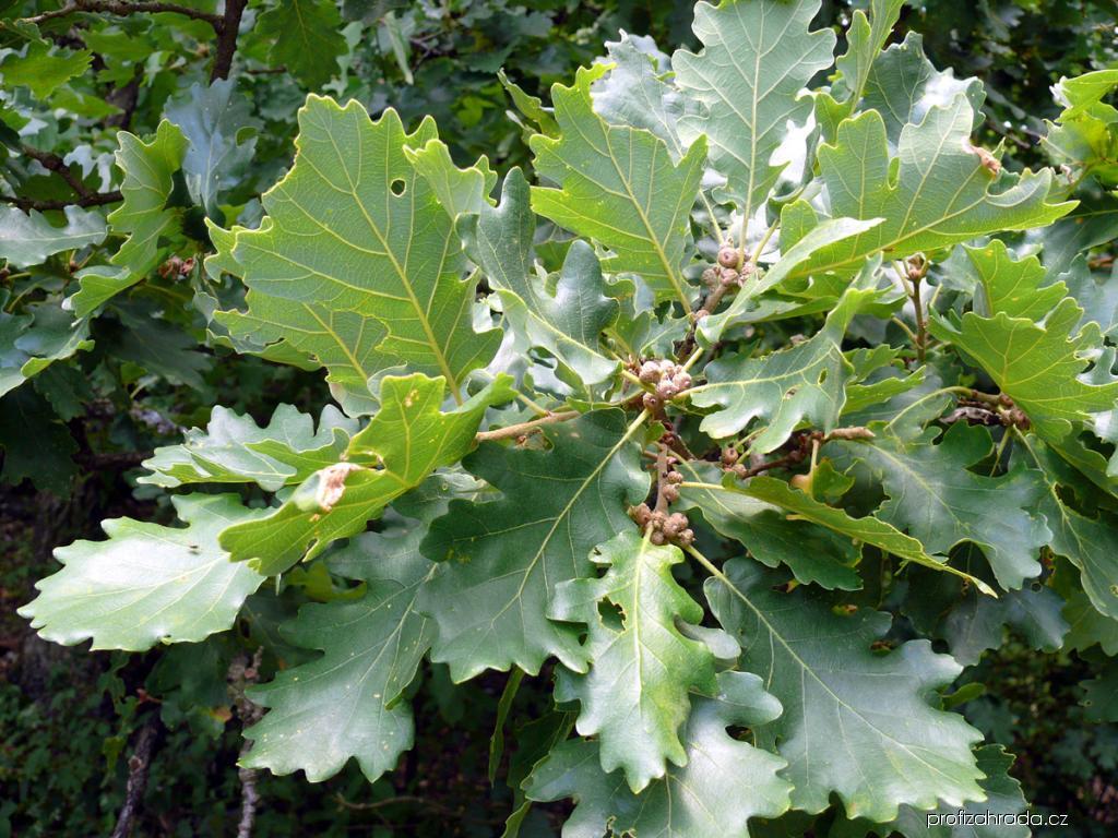 Dub pýřitý (Quercus pubescens)