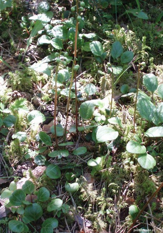 Hruštička zelenokvětá (Pyrola chlorantha)