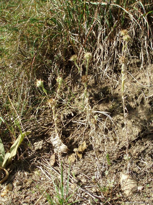 Bělolist žlutavý (Filago lutescens)