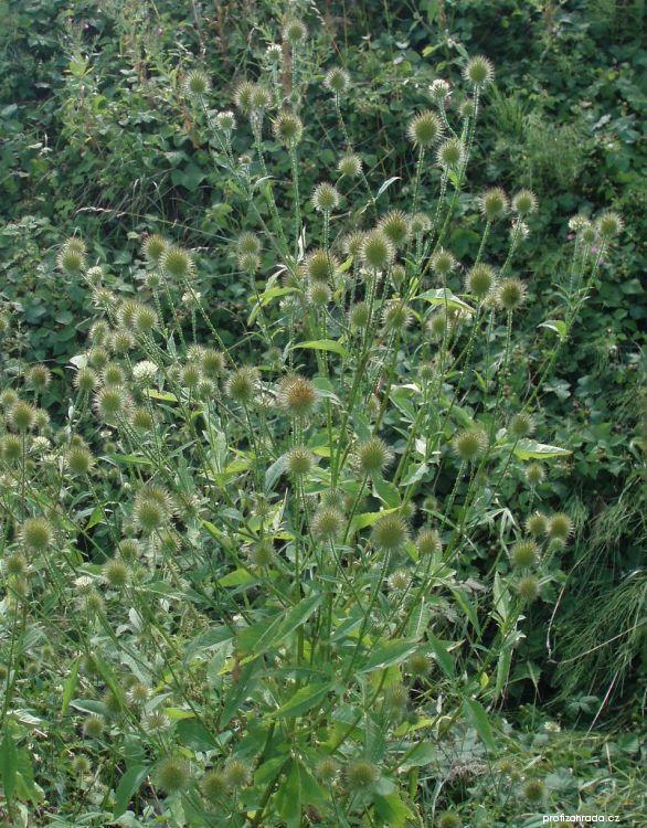 Štětka větší (Dipsacus strigosus)