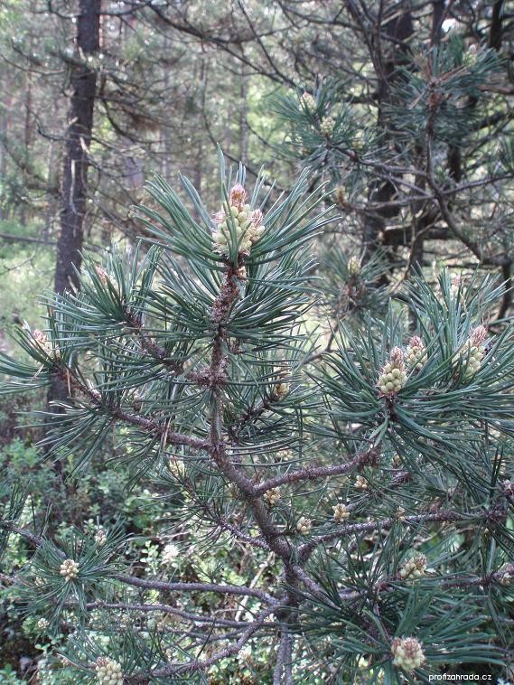 Borovice pyrenejská blatka (Pinus uncinata subsp uliginosa)
