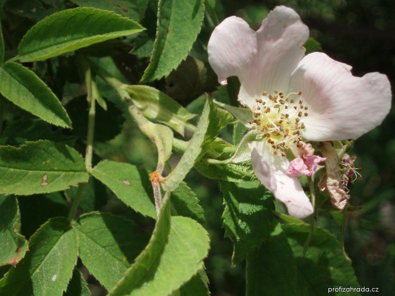 Růže plstnatá - květ (Rosa tomentosa)