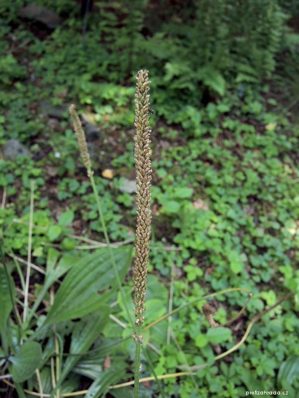 Jitrocel prostřední dlouholistý (Plantago media subsp longifolia)