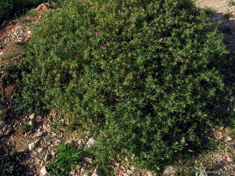 Chrpa sikavice (Centaurea calcitrapa)