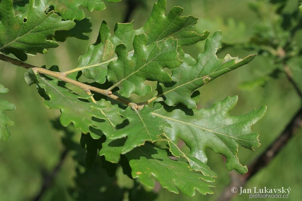 Dub jadranský (Quercus virgiliana)