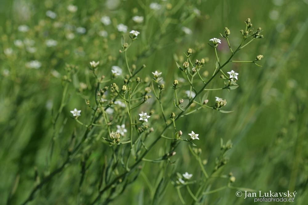 Lněnka lnolistá (Thesium linophyllon)