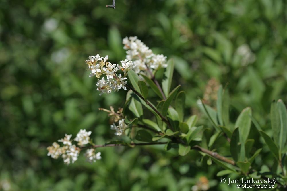 Ptačí zob obecný - květy (Ligustrum vulgare)