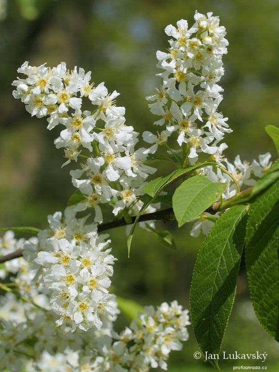 Střemcha obecná - květy (Prunus padus)