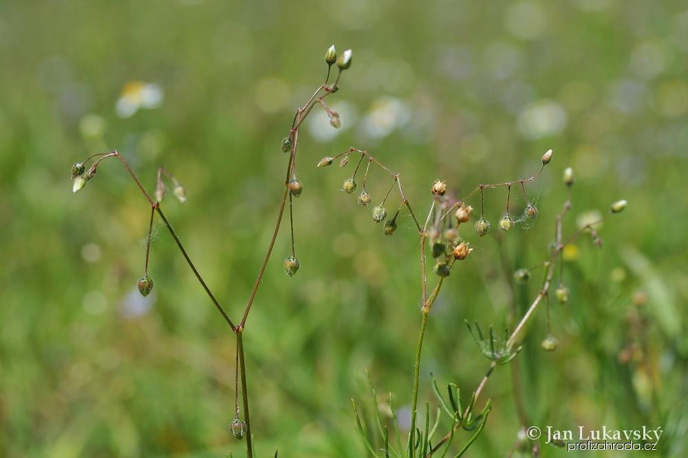 Kolenec rolní (Spergula arvensis)
