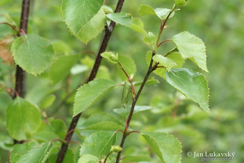 Bříza karpatská (Betula carpatica)
