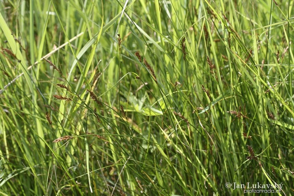 Skřípinka smáčknutá (Blysmus compressus)