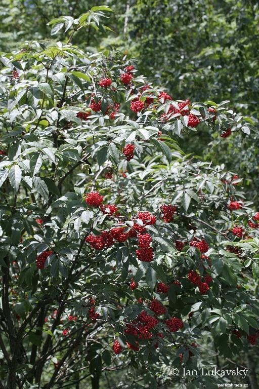 Bez červený (Sambucus racemosa)