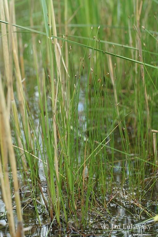 Bahnička chudokvětá (Eleocharis quinqueflora)