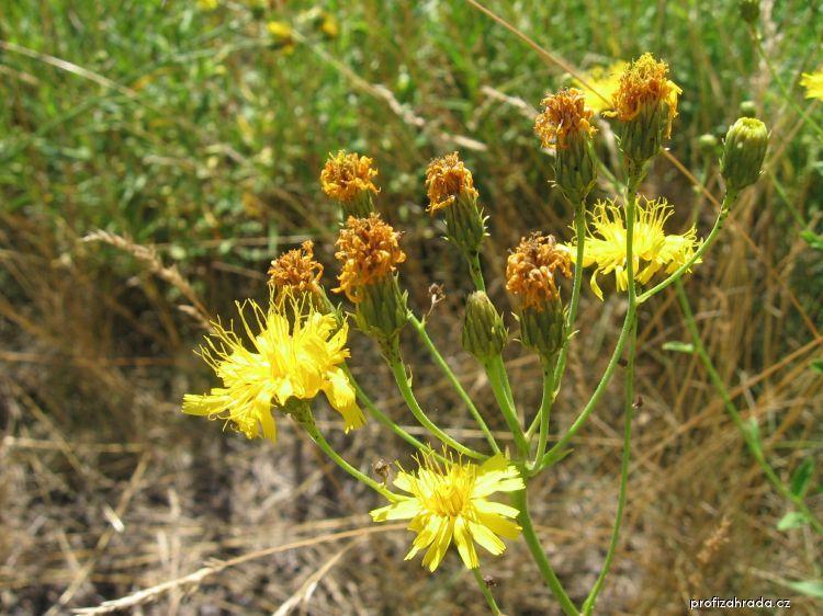 Jestřábník okoličnatý (Hieracium umbellatum)