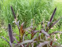 Dochan 'Purple Majesty' (Pennisetum glaucum)