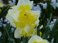 narcis Narcissus  'Printal'