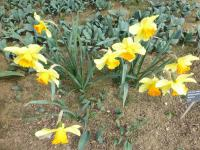 Narcissus  'Fortissimo' - narcis