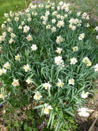 Narcissus  'Replete' - narcis