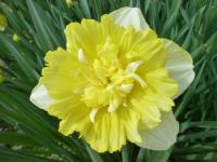 Narcissus  'Full House' - narcis