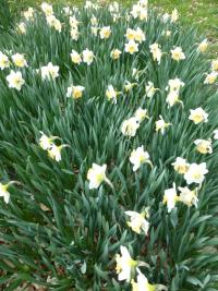 Narcissus  'Musca' - narcis