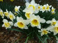 Narcissus  'Orange Ice Folies' - narcis