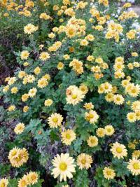 Chrysanthemum hybridum  'Goldgreenheart' - listopadka