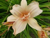 Denivka 'Double Dream' (Hemerocallis hybrida)