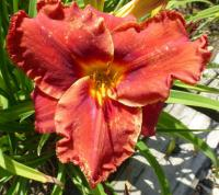 Hemerocallis hybrida     'Suddenly It's Autumn'  denivka květy, květenství