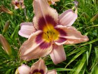 Denivka 'CZ Royalty' (Hemerocallis hybrida)