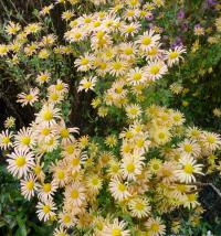 Chrysanthemum hybridum  'Mary Stoker' - listopadka