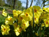 Narcissus   'Golden Dawn'  narcis rostlina